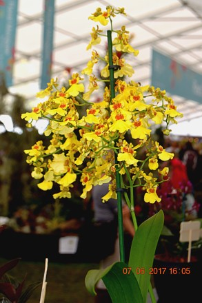 Oncidesa (Oncidium) Sweet Sugar [Photo by Scott Patterson]